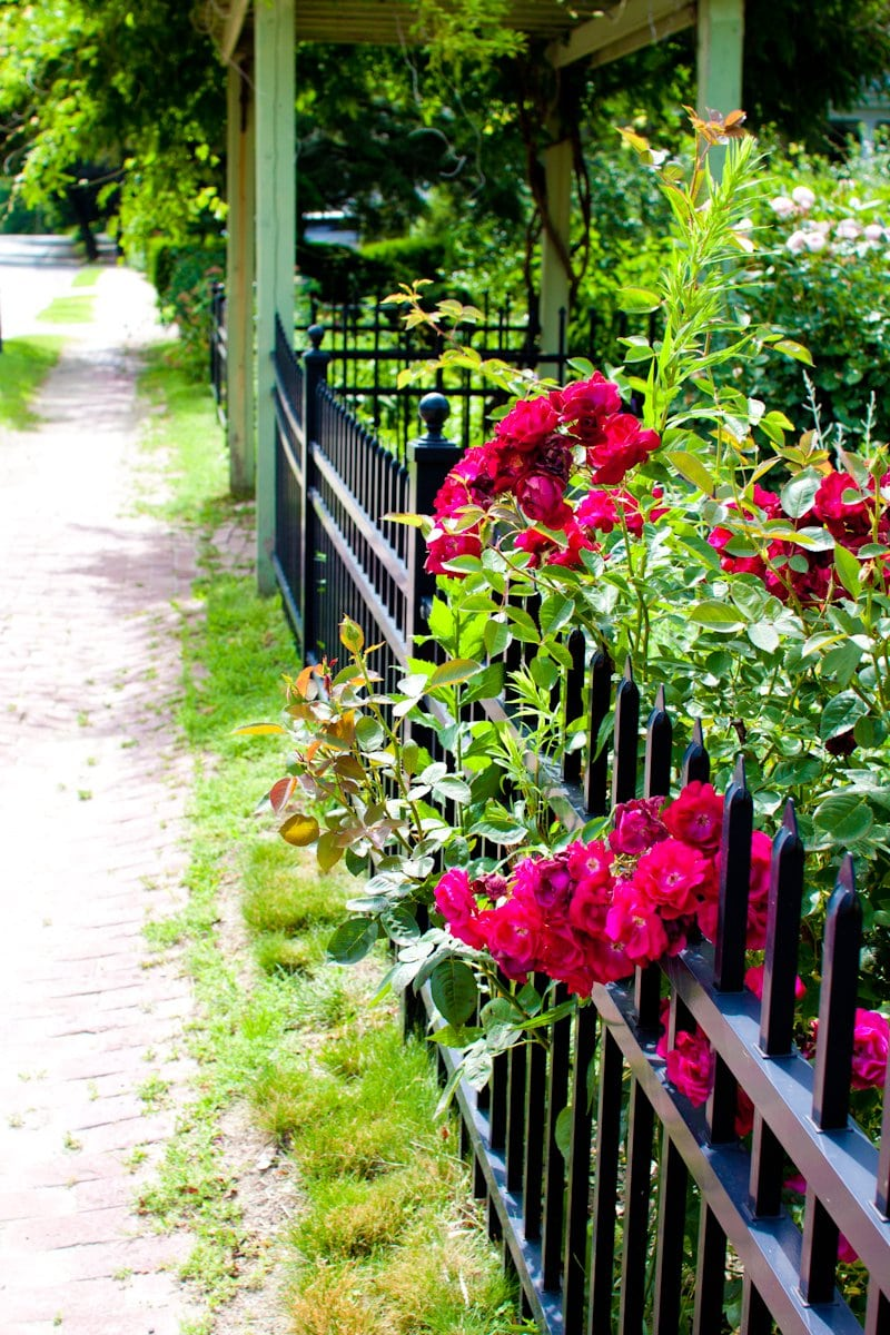 roses fence